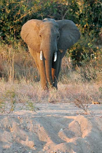 elephant on dry riverbank, Ruaha National Park, Tanzania