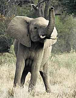 African Elephant Trunk Up
