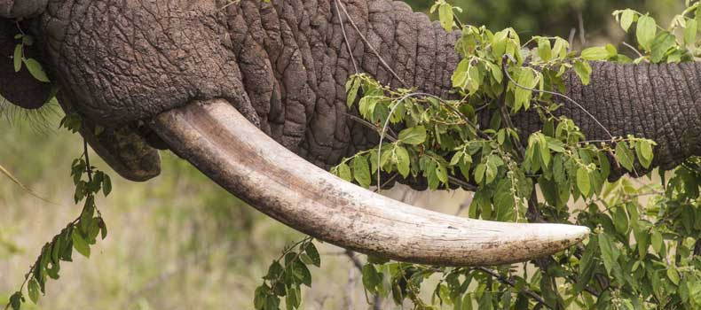 Elephant tusk, close-up, Kruger National Park, South Africa