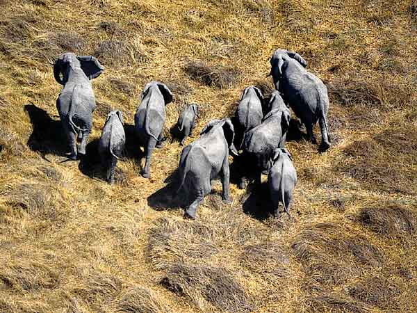 Elephants from the air, Moremi, Botswana