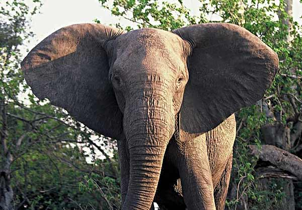 Tuskless Elephant