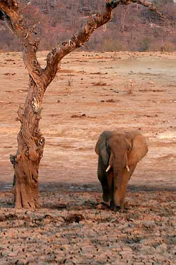 Elephant under old tree, Hwange National Park, Zimbabwe