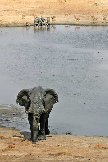 Elephant walking from waterhole, Hwange National Park, Zimbabwe