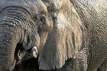 elephant close-up, Hwange National Park, Zimbabwe