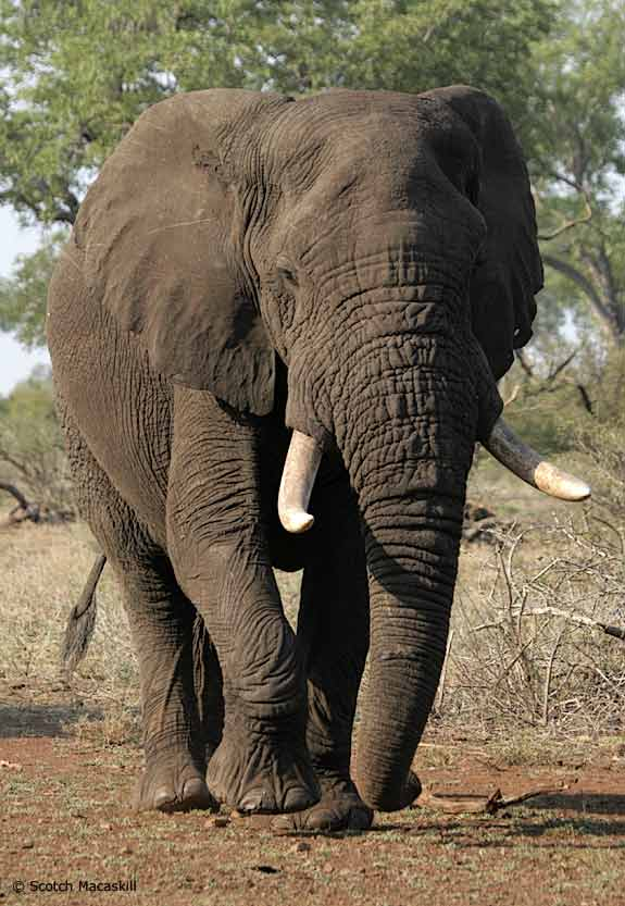 African Elephant walking towards camera