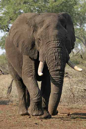 Bull elephant heading for waterhole, Kruger Park, South Africa