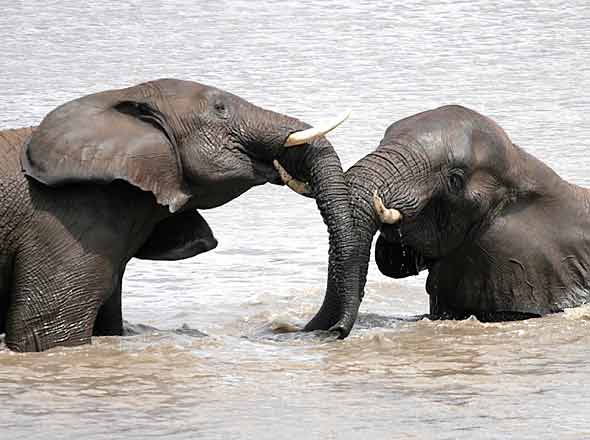 Elephants using their trunks to communicate