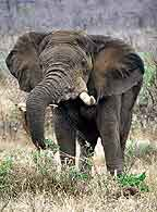 Elephant pulling up small shrub