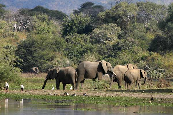 Elephant group on riverbank