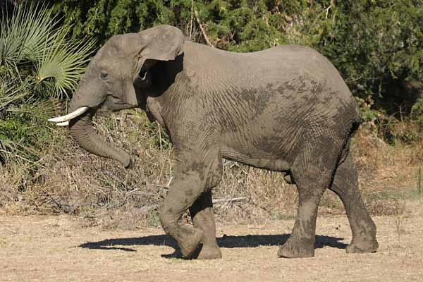 Elephant walking, side view