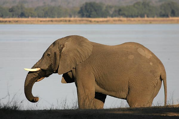 Elephant on banks of river