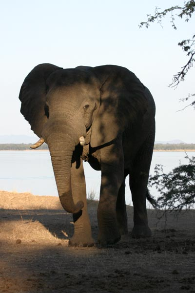 Elephant standing, river in background