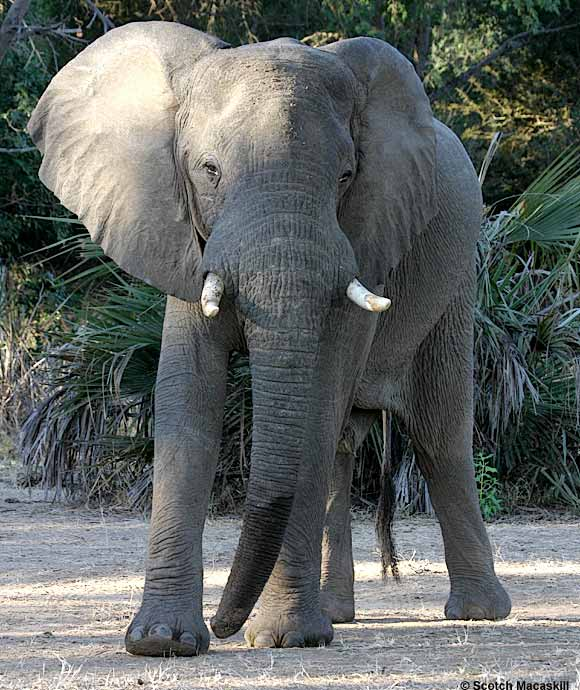 Bull Elephant, Lower Zambezi National Park