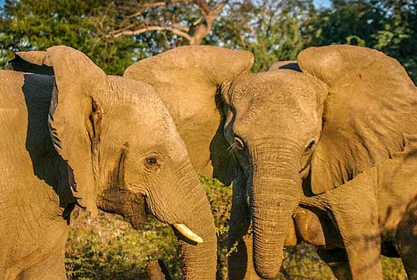 Elephant females standing close together, Lower Zambezi National Park