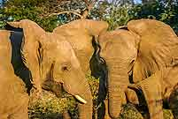 Elephant females, head shot