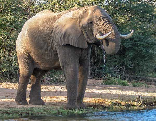 Elephant drinking from Zambezi River