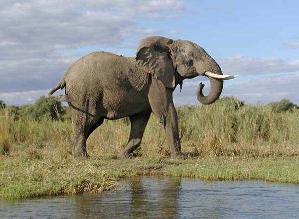 Elephant on banks of Zambezi River, Zambia