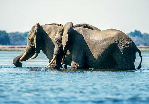 Elephant pair wading in Zambezi River