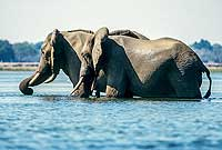 Elephants wading in Zambezi River