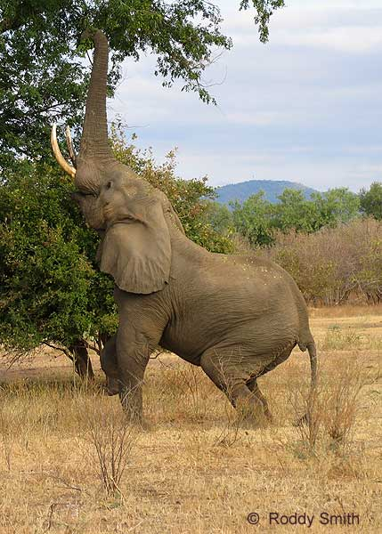 Elephant reaching up with trunk to feed from tree