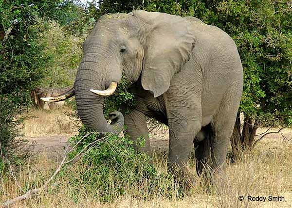 Elephant eating, Lower Zambezi National Park, Zambia