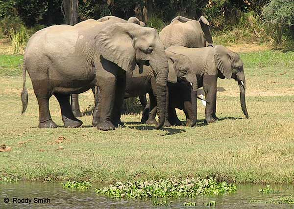 Elephant Family, Lower Zambezi National Park, Zambia