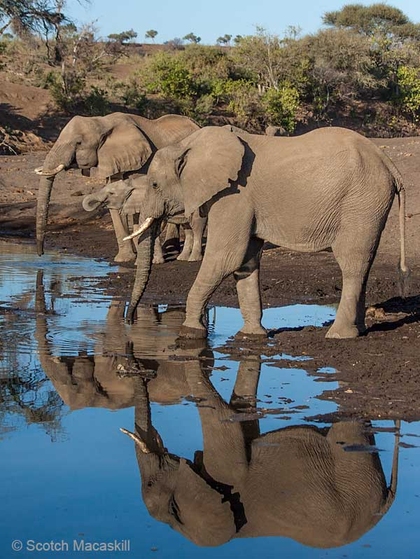 Elephants cast reflections while drinking from river