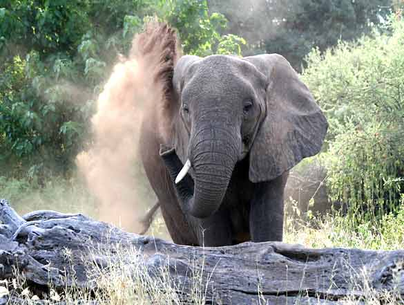 Elephant spraying dust