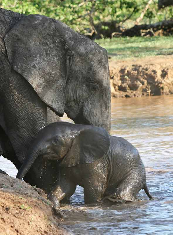 Elephant helping baby from river