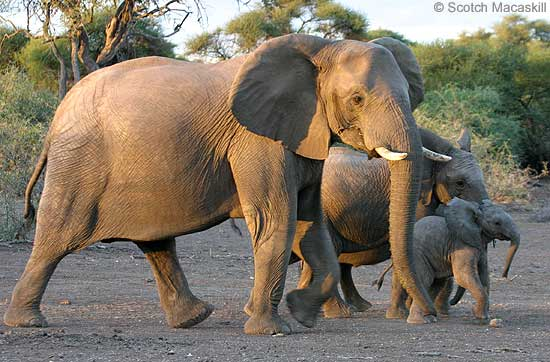 Elephant female and youngsters