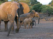 Elephant cow with youngsters