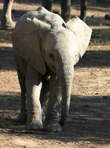 Young elephant walking