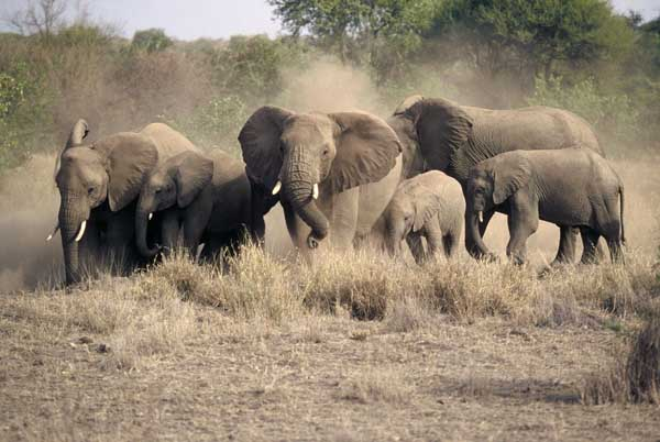 Elephant female herd