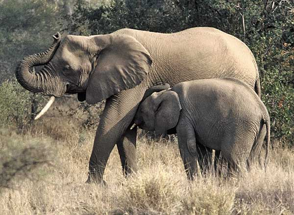 elephant cow suckling its calf, Northern Tuli Game Reserve, Botswana