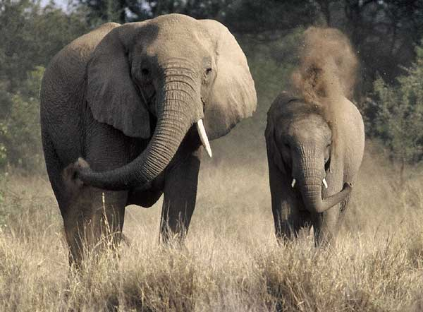 Elephant female and calf using their trunks to spray dust