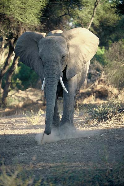 Elephant in threat display