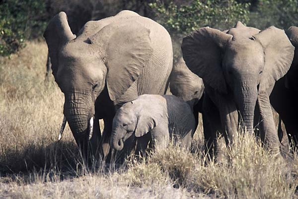 Elephant herd in defensive formation