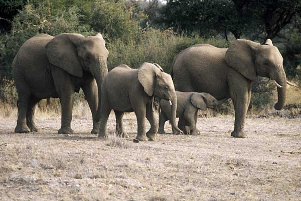 Elephant family group
