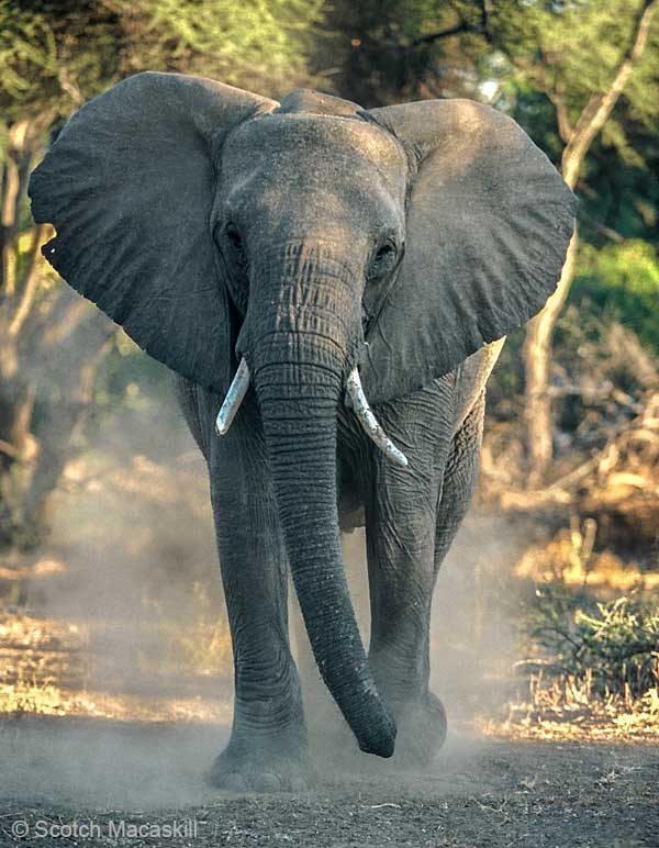 elephant stirring up dust, Northern Tuli Game Reserve, Botswan