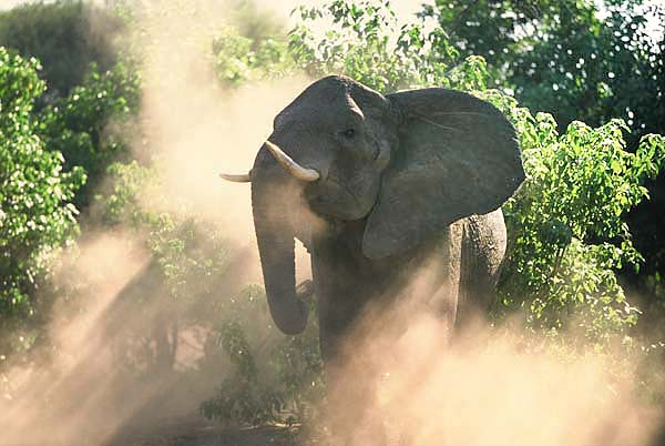 Elephant cow stirring up dust