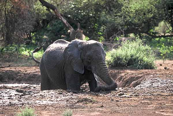 elephant taking mudbath