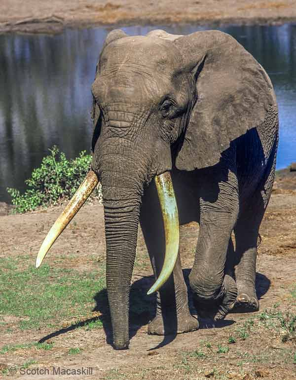 elephant leaving waterhole, Tembe Elephant Park