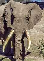 Elephant with huge tusks