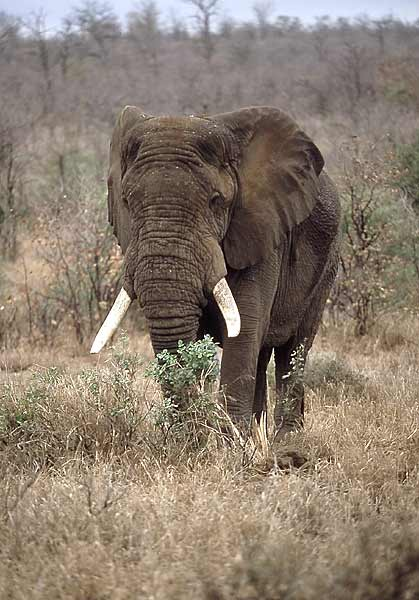 Elephant stripping tree