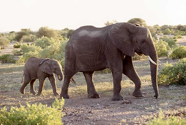 elephant cow and calf, botswana