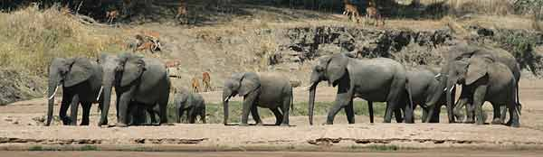 Elephant herd, Ruaha River, Ruaha National Park