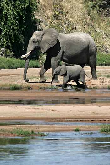Elephant mother and calf on riverbank, Ruaha National Park, Tanzania