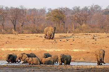 Elephant herd coming down to drink, Hwange National Park, Zimbabwe