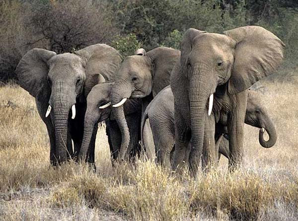 Elephant family in defensive group, Tuli Block, Botswana