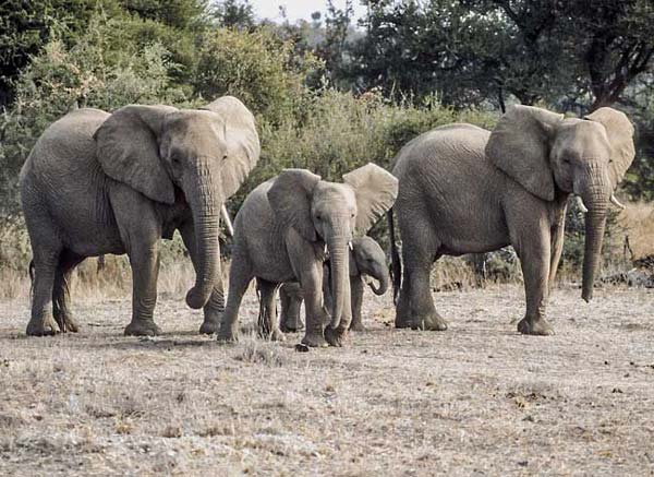 Elephant mothers with their young ones, Tuli Block, Botswana